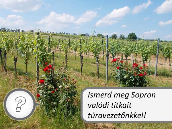 Rózsák a Soproni Borvidék szőlőültetvényén. Mi a titkuk? Hogy kerülnek oda?
