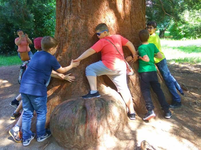 Óriás mamutfenyő a soproni Erzsébet-kertben.
