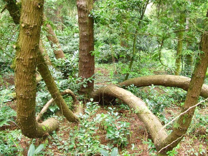Különleges alakú fák a Soproni (Erdészeti) Egyetem Botanikus Kertjében