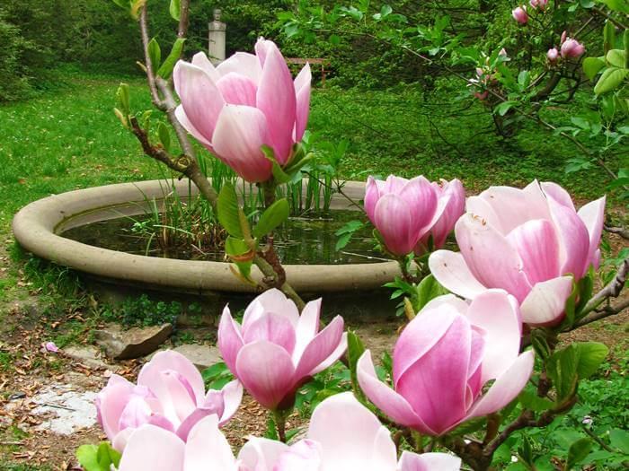 Virágzó magnólia és díszkút a Soproni (Erdészeti) Egyetem Botanikus Kertjében