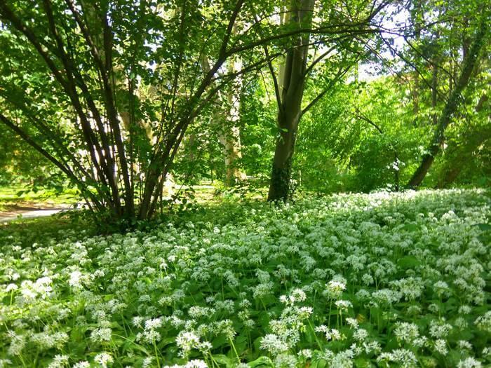 Virágzó medvehagymák a Soproni (Erdészeti) Egyetem Botanikus Kertjében