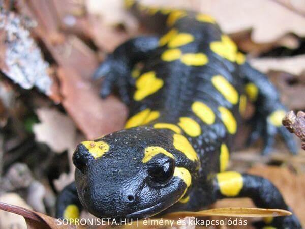Foltos szalamandra a Soproni-hegység ritka védett kétéltűje