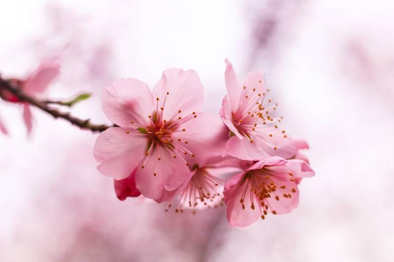 Csodaszép cseresznye virág